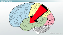 Temporal Lobe: Definition & Functions