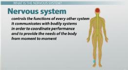 What Are Nerve Cells? - Function, Types & Structure