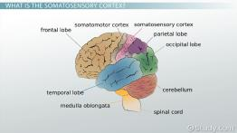 Somatosensory Cortex: Definition, Location & Function