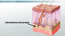 Subcutaneous Tissue Layer: Definition & Injections