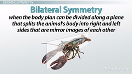 Bilateral symmetry: definition, examples & advantages video.