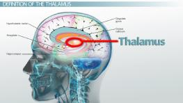 Thalamus: Definition, Functions & Location