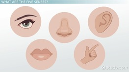 The Five Senses & Their Functions