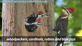 The Temperate Deciduous Forest Food Web