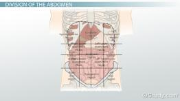 The 4 Abdominal Quadrants: Regions & Organs