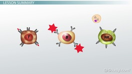 Lymphocytes: Definition, Functions & Types