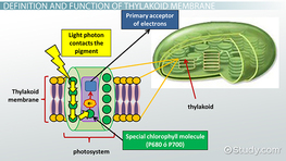 Thylakoid Membrane in Photosynthesis: Definition, Function & Structure