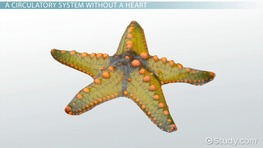 Echinodermata Circulatory System