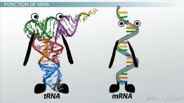 tRNA: Role, Function & Synthesis