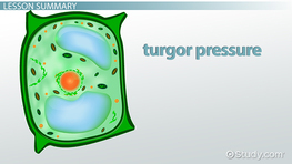 Turgor Pressure in Plants: Definition & Overview