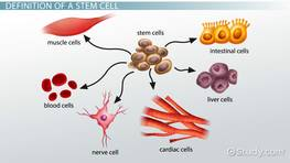 What is a Stem Cell? - Definition, Uses & Research Facts