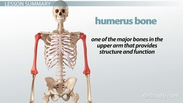 Humerus: Definition, Anatomy U0026 Fracture