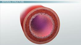 What are Arteries? - Function & Definition