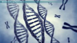 What are Genotypes? - Definition & Examples