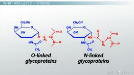 What Are Glycoproteins? - Definition, Functions & Examples