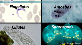 What are Protozoa? - Definition, Characteristics & Examples preview