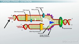 Lagging Strand of DNA: Definition & Synthesis