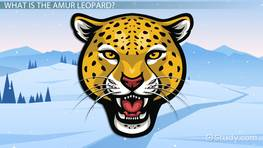 Why is the Amur Leopard Endangered? - Predators & Statistics