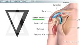 What Does the Deltoid Muscle Do? - Definition & Function