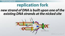 Topoisomerase: Definition & Function