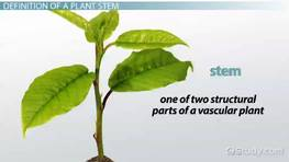 The Plant Stem: Function, Types & Parts