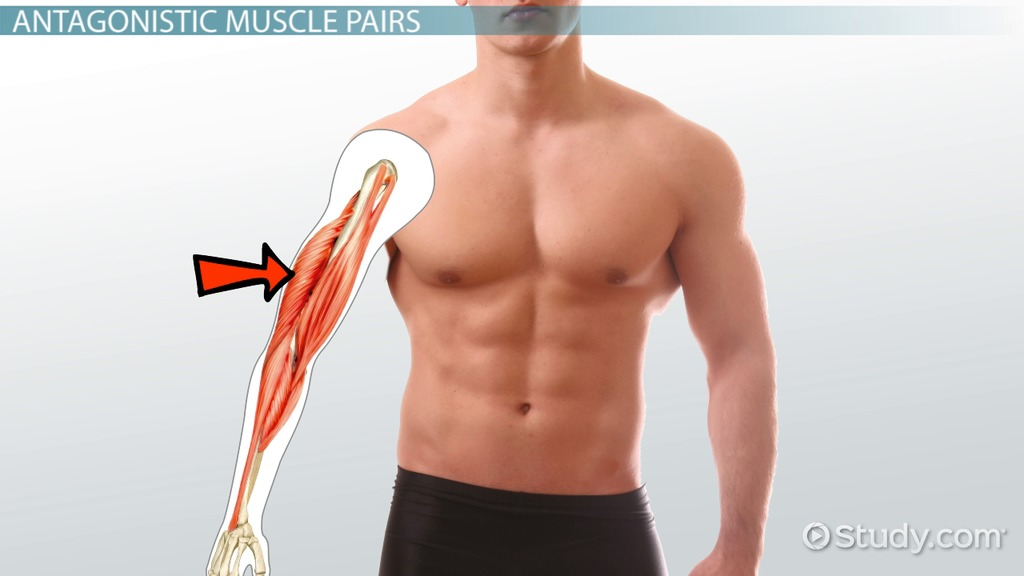 Agonist Muscle Definition Example Video Lesson Transcript