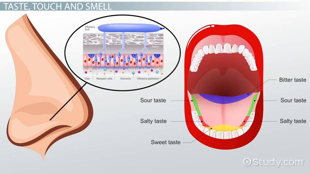 taste  touch  u0026 smell  proprioception  u0026 the somatosensory