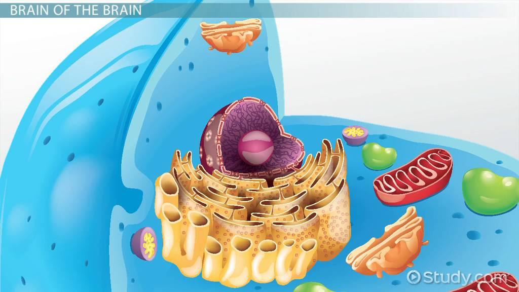 Nucleolus Lesson For Kids