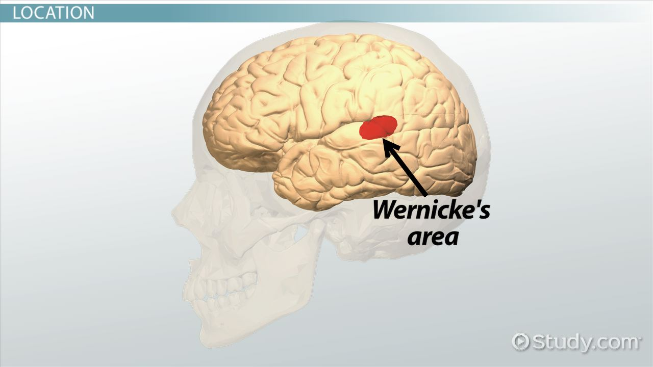 Wernickes Area Function Location Video Lesson Transcript Simple Brain Diagram Clipart Best