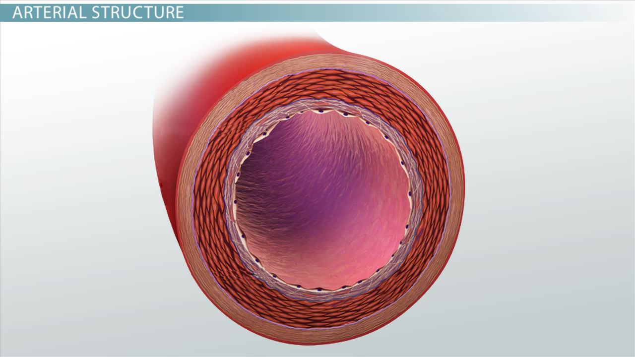 arterial wall diagram what are arteries? - function & definition - video ... chest wall diagram