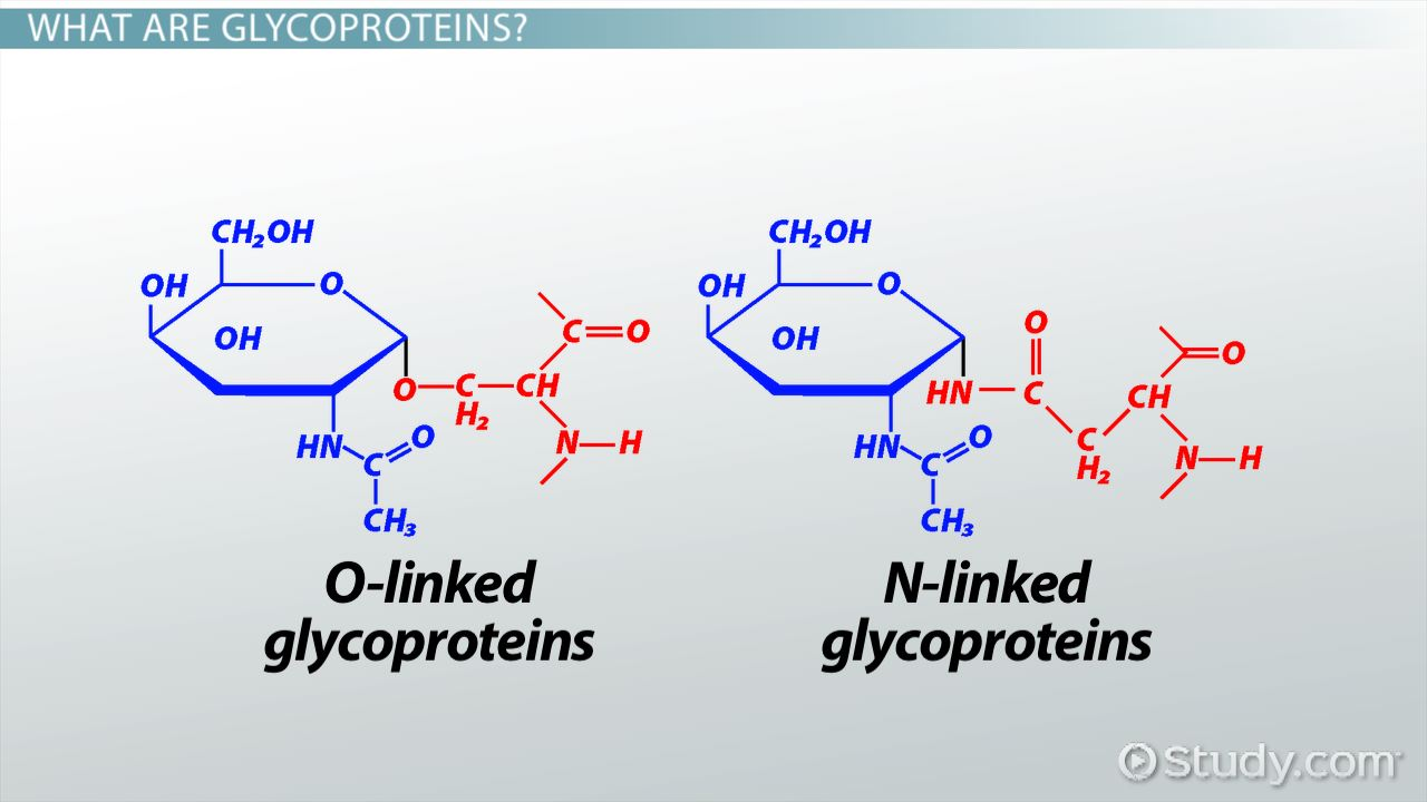 What Are Glycoproteins? - Definition, Functions & Examples - Video ...