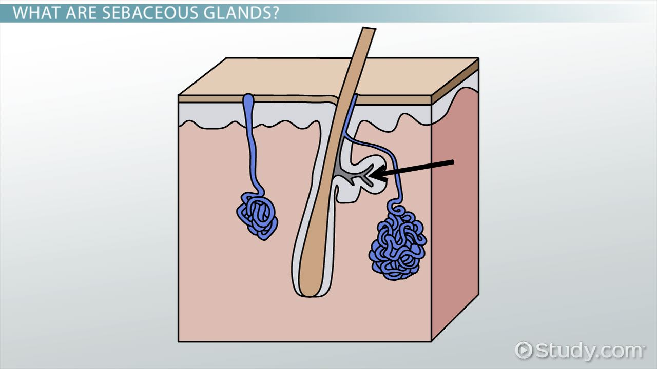 What Are Sebaceous Glands Definition Function Video Lesson