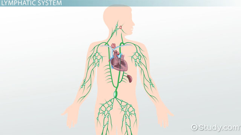 What Is The Lymphatic System Structures Function Vocabulary