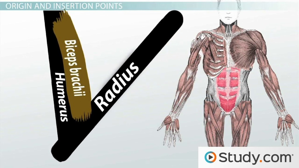 What Is the Muscular System? - Function & How Muscles Work in Groups ...
