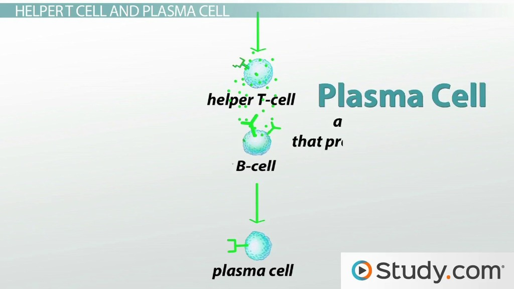 What Are B Cells Function And Types Video Amp Lesson