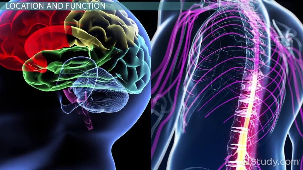 White Matter vs. Gray Matter: Difference & Medical Terms - Video & Lesson  Transcript | Study.com