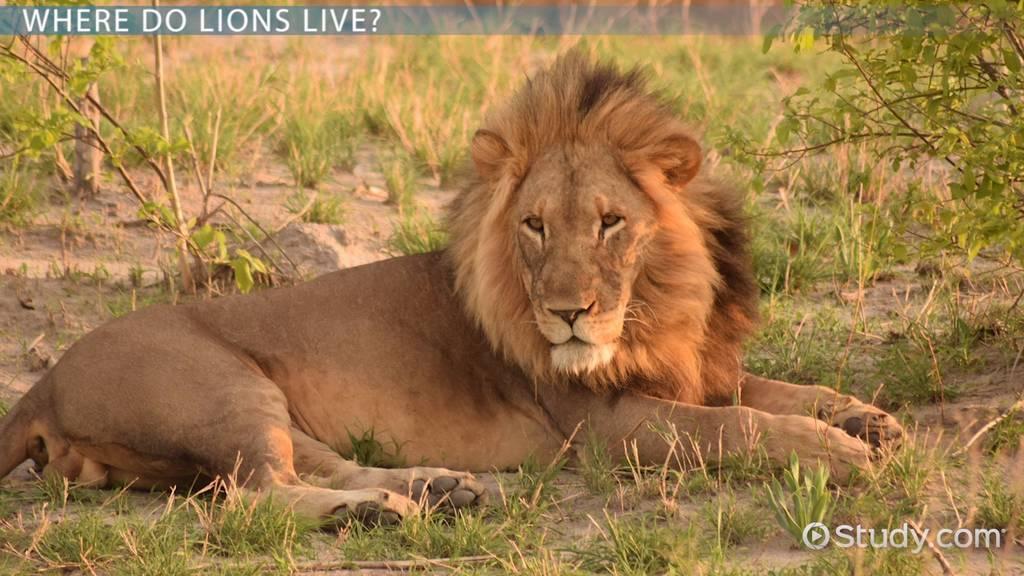 lion habitat  lesson for kids