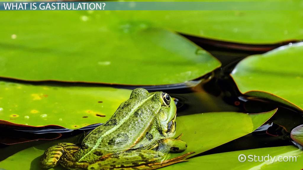 Gastrulation in Frogs: Definition & Concept - Video ...