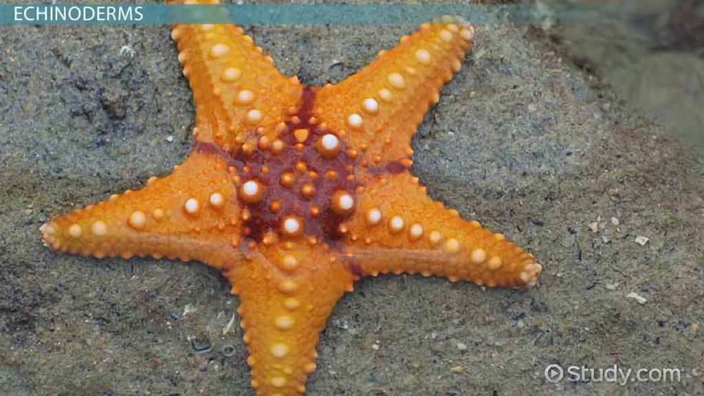 Phylum echinodermata (starfish, sea urchins, sand dollars, etc. ).