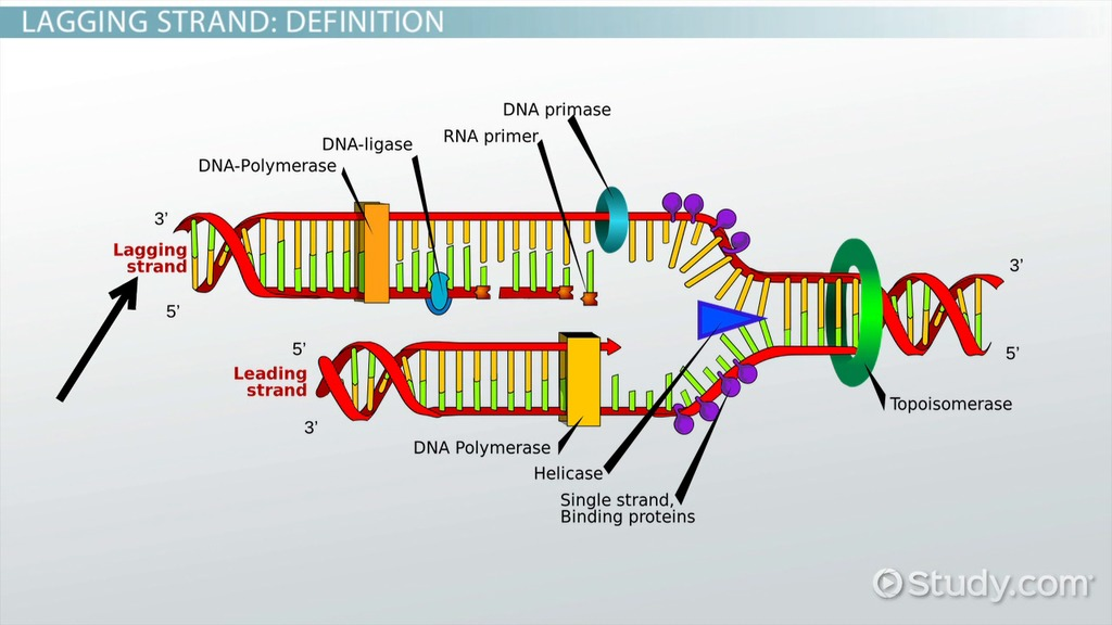 Lagging Strand Of Dna Definition Synthesis Video Lesson