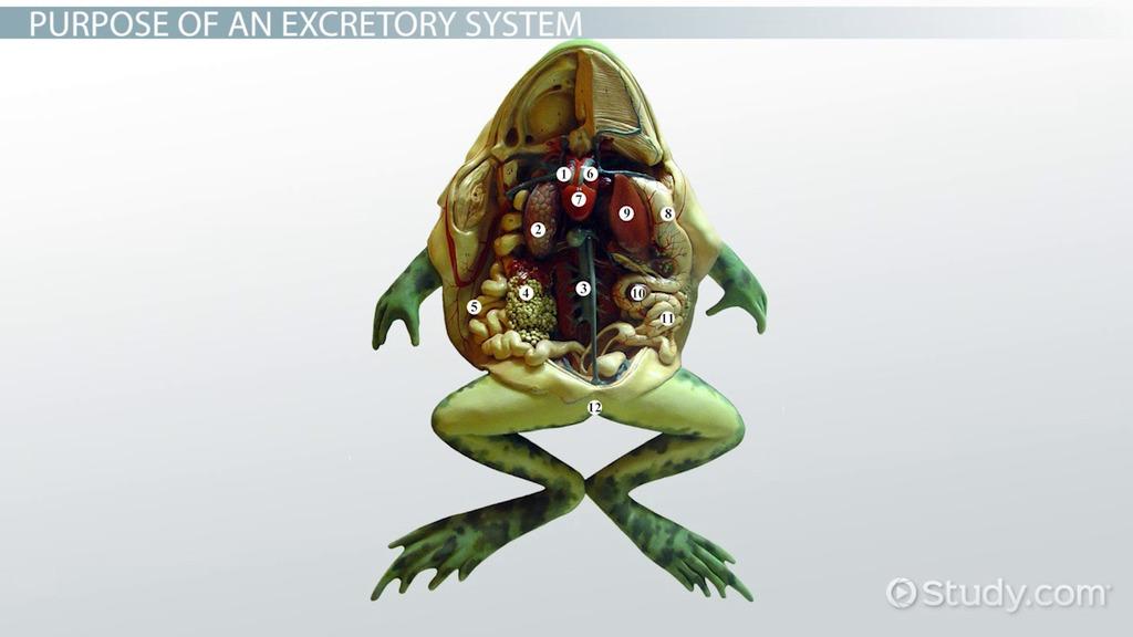 Amphibians Excretory System Video Lesson Transcript Study