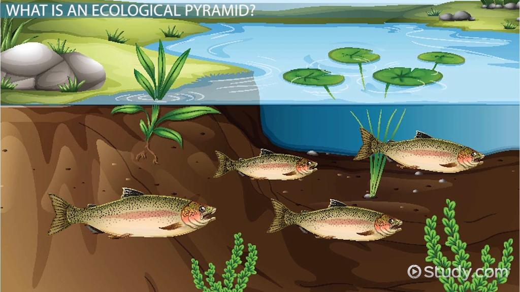 three types of ecological pyramids number biomass energy video lesson transcript study com