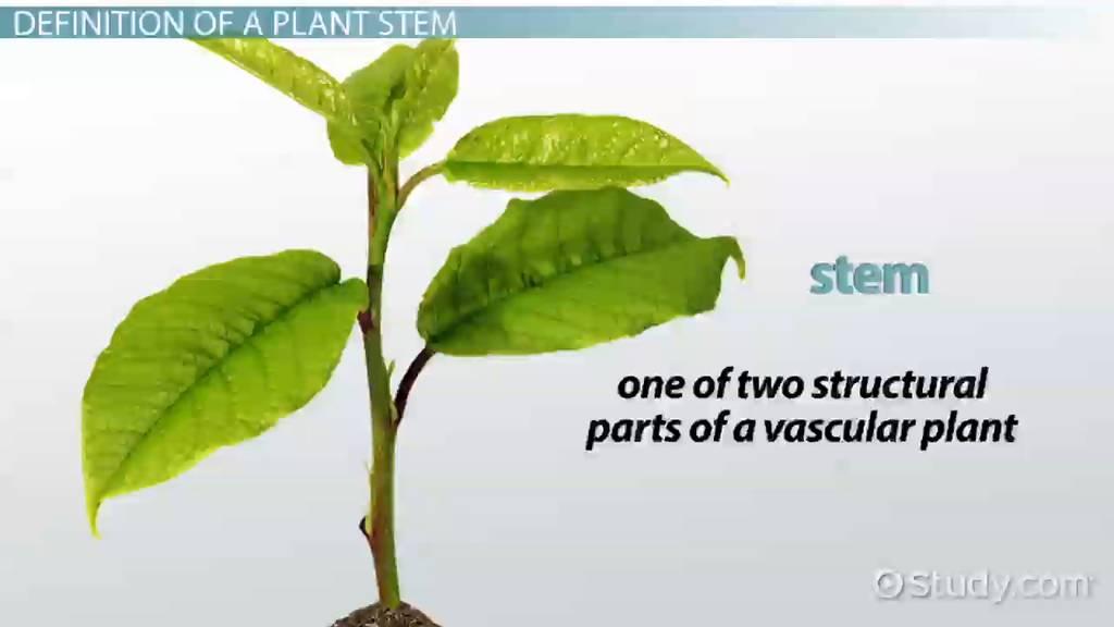 The Plant Stem: Function, Types & Parts - Video & Lesson Transcript ...