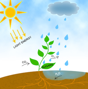 photosythesis energy Photosynthesis is the process used by plants, algae and certain bacteria to harness energy from sunlight and turn it into chemical energy.