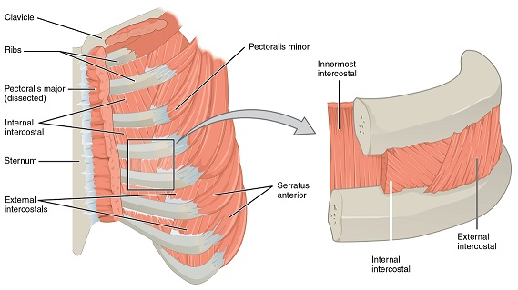intercostal muscles: definition, function & location | study, Human body