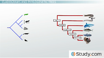 cladogram vs phylogenetic tree images galleries with a bite. Black Bedroom Furniture Sets. Home Design Ideas