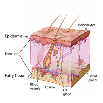 epidermis definition – applecool, Cephalic Vein