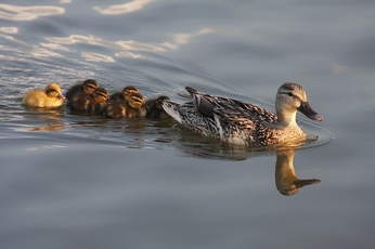 DuckFamily
