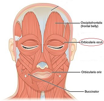 Orbicularis Oculi Muscle Innervation Origin Amp Insertion