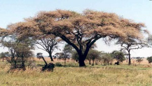 Image of Acacia trees.